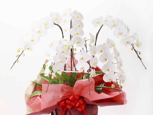 開店祝いになぜ胡蝶蘭が定番なの?5つの理由と間違いのない贈り方