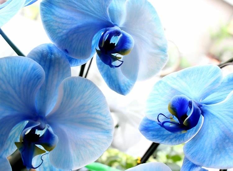青色の胡蝶蘭
