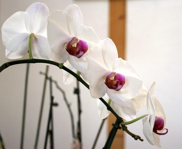リップ系の胡蝶蘭