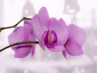 紫色の胡蝶蘭
