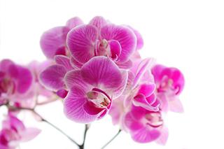 ピンク色の胡蝶蘭