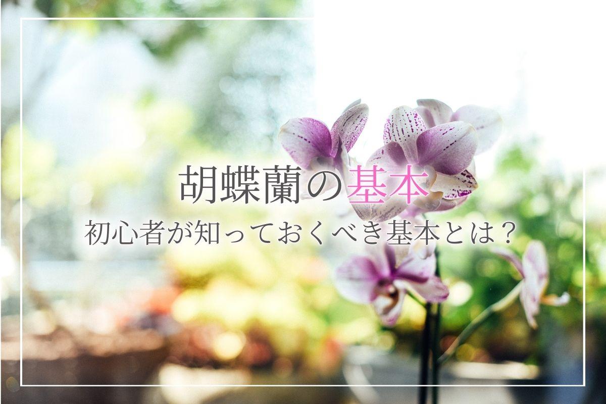 初心者でも安心の胡蝶蘭の育て方!開花中はもちろん、花が落ちてからの育て方についても解説
