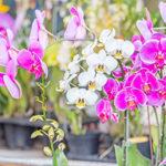 色と大きさで選ぶ!胡蝶蘭の喜ばれる選び方