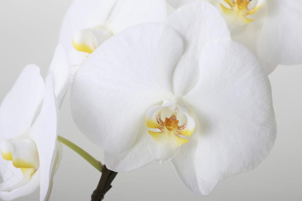 胡蝶蘭が喜ばれる理由
