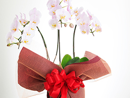 贈るときも、贈られたときも知りたい「胡蝶蘭のラッピング」