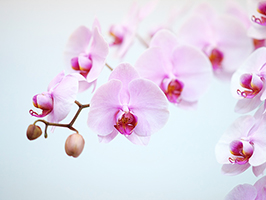 お祝いで胡蝶蘭を贈るとなぜ喜ばれるのか?