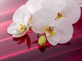 胡蝶蘭をお祝いとして贈るときに大切なこと