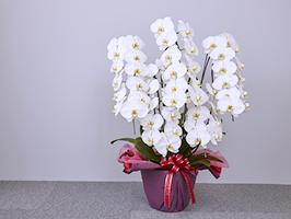 美しい花を長く楽しみたい!胡蝶蘭の季節ごとのお手入れ方法