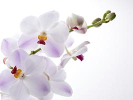 新常識!金婚式で胡蝶蘭を贈る時のマナー
