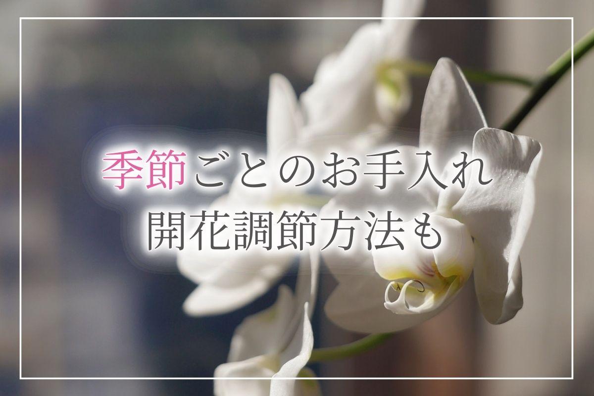 【完全ガイド】季節ごとの胡蝶蘭のお手入れと、好きな時期に開花させる方法「開花調節」についてもご紹介