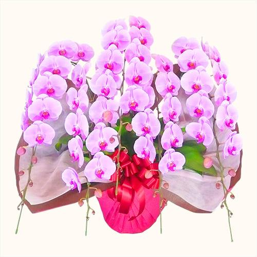 胡蝶蘭(5本立て、ピンク)