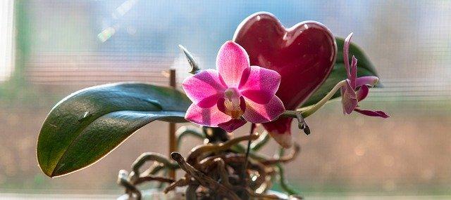 ピンクの胡蝶蘭の花とはっぱ