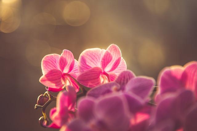 日光を浴びるピンクの胡蝶蘭の花