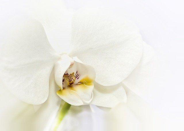白い胡蝶蘭の花のアップ
