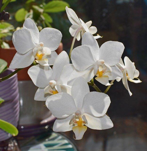 白い胡蝶蘭の花6輪
