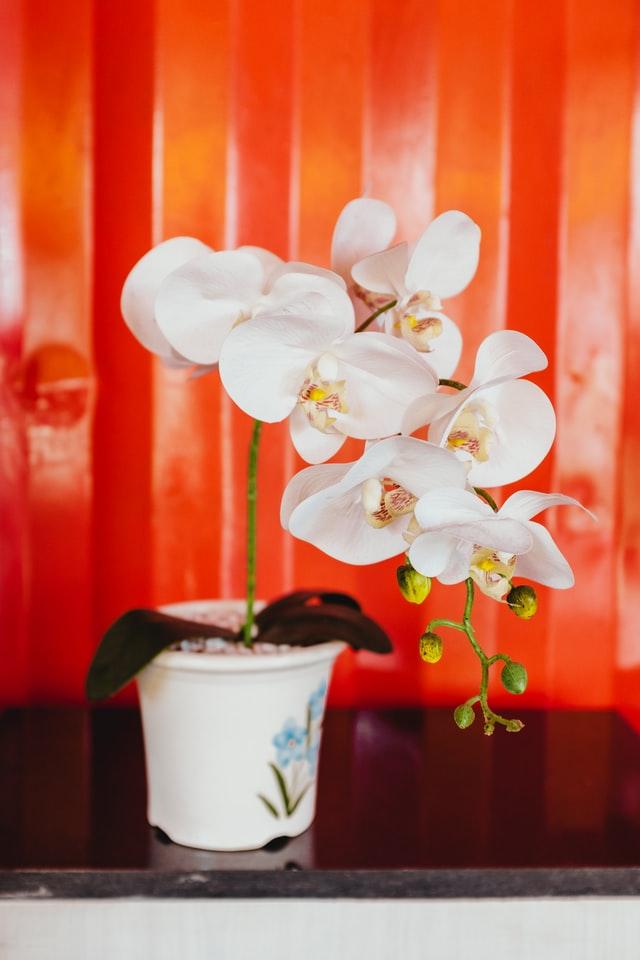 白の胡蝶蘭の鉢