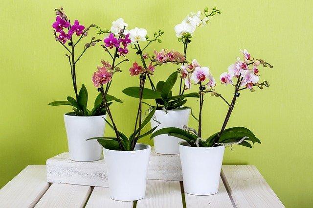 鉢植えの胡蝶蘭