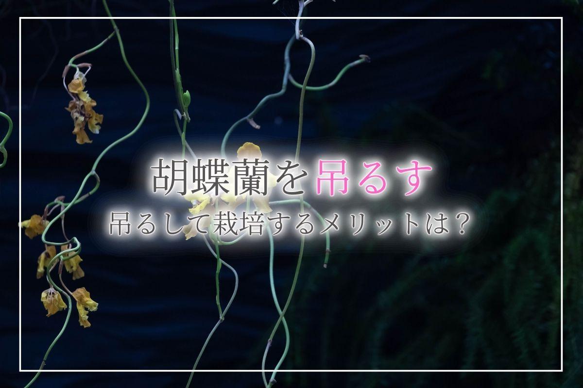 胡蝶蘭を吊るす