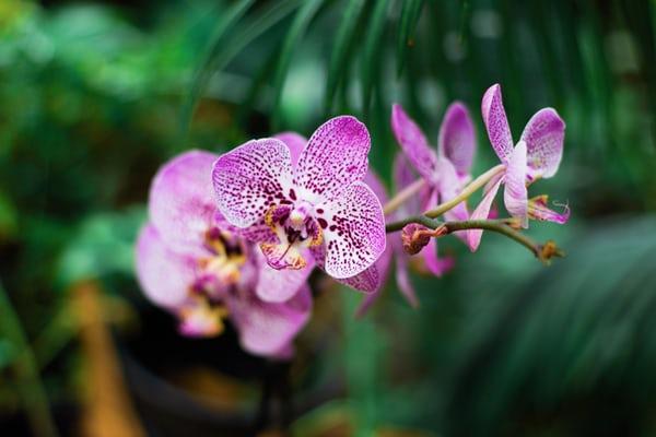 原種の胡蝶蘭