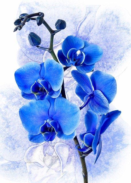 青い胡蝶蘭の花