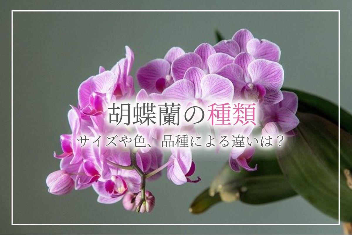 【胡蝶蘭の種類】色やサイズ、品種による違いについて紹介!造花の胡蝶蘭なら光触媒胡蝶蘭がおすすめ