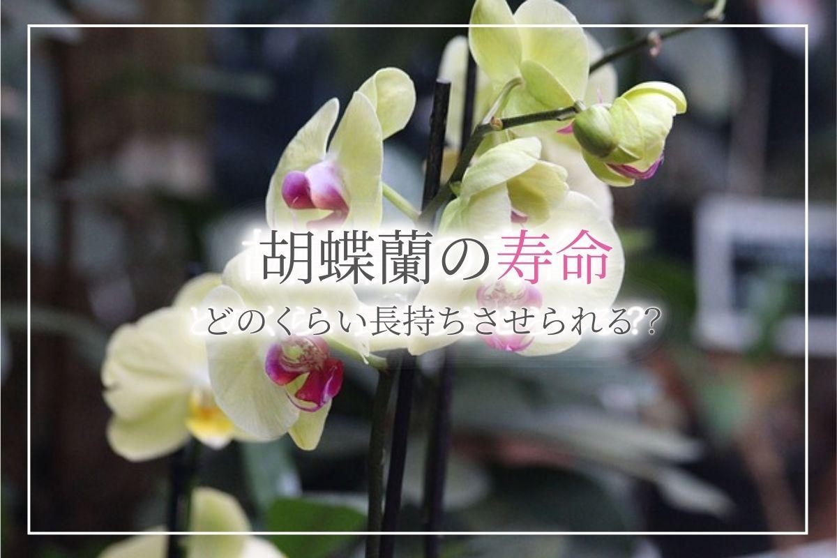 胡蝶蘭の寿命はどのくらい?寿命は伸ばせる?お祝いで貰った胡蝶蘭もきちんと手入れをすれば長く楽しむことができます!