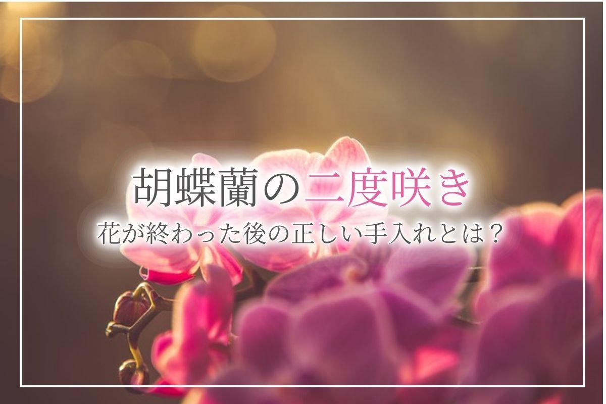 胡蝶蘭を二度咲きさせるにはどうすれば良い?花が終わった後の正しい手入れの方法について紹介