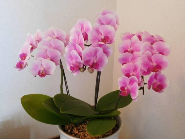 ピンクの鉢植えの胡蝶蘭