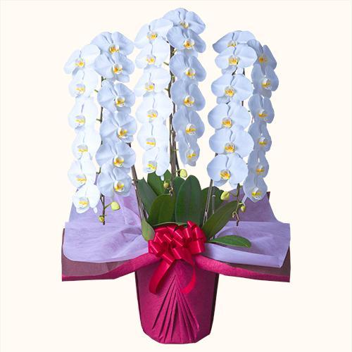 胡蝶蘭3本立白