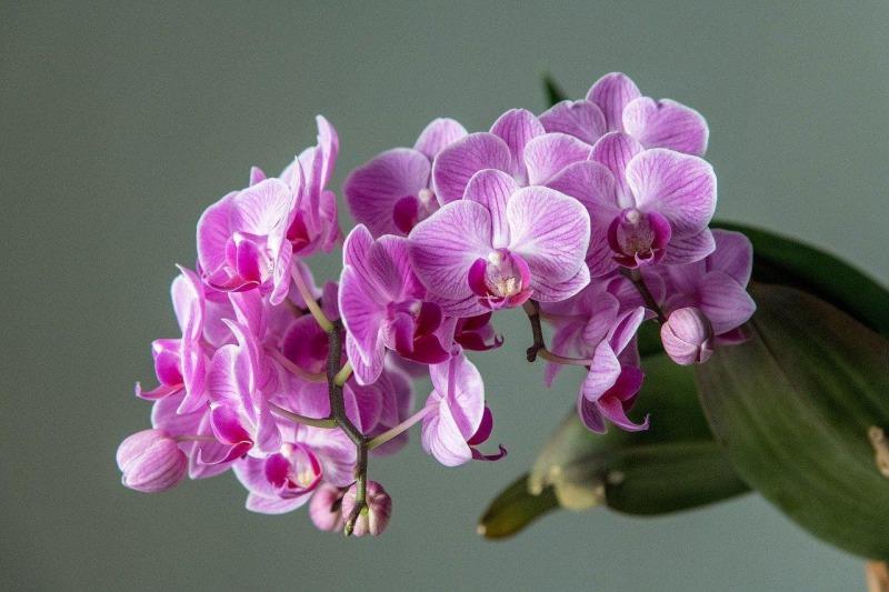 胡蝶蘭の株