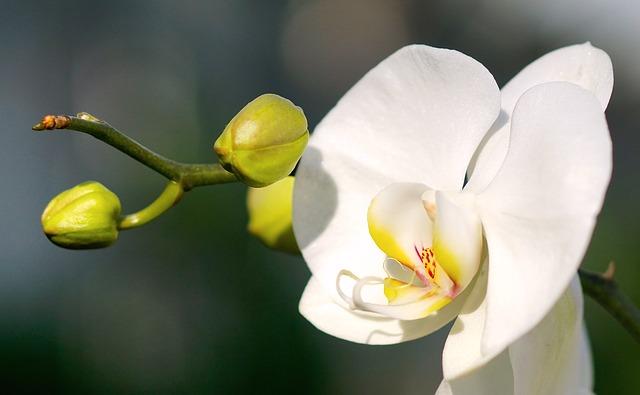ビジネスシーン向けの胡蝶蘭の選び方