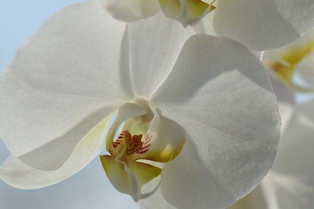 白い胡蝶蘭のアップ