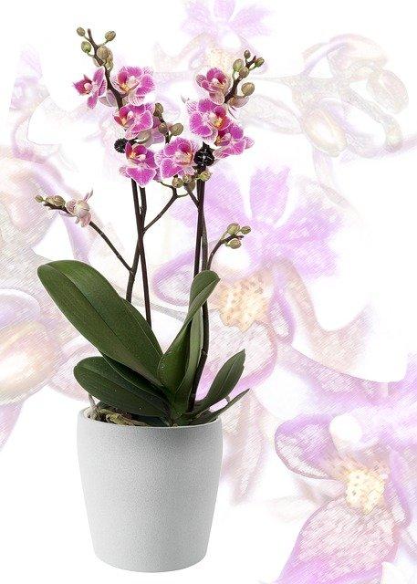 白い鉢に植えられた紫の胡蝶蘭
