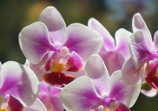 白と紫の胡蝶蘭の花