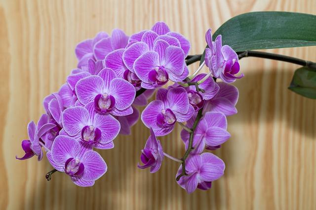 紫の胡蝶蘭一房