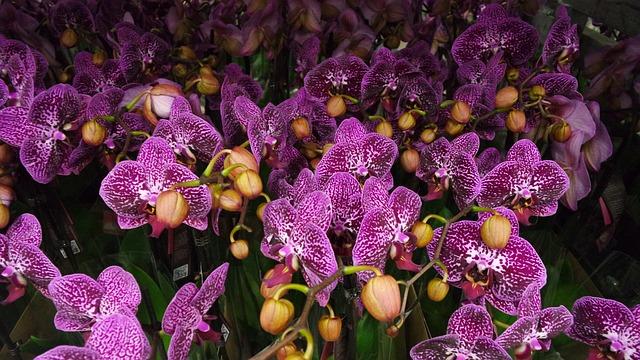 群生する紫胡蝶蘭