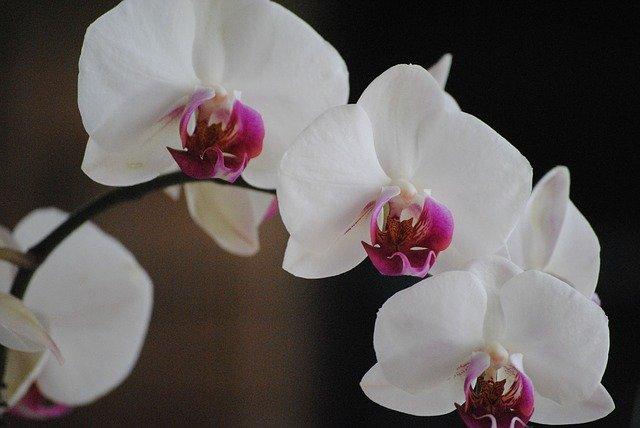 胡蝶蘭がビジネスシーンのお祝いに贈られる理由