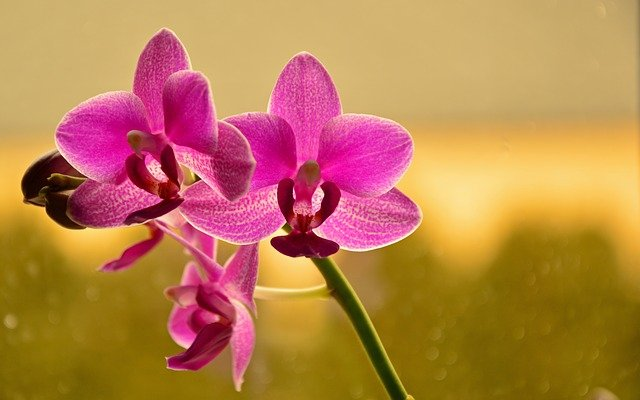 胡蝶蘭を東京に送るなら通販がおすすめ