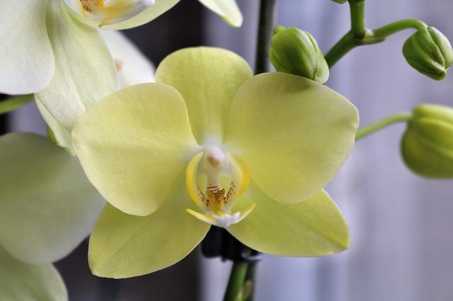 胡蝶蘭黄色