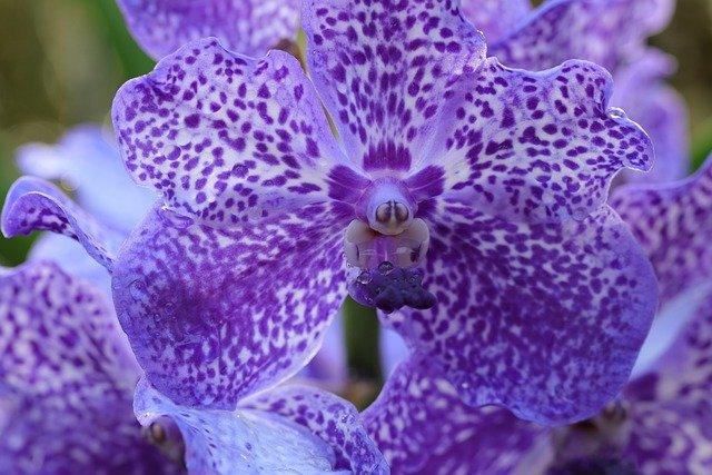 青っぽい紫の胡蝶蘭1輪