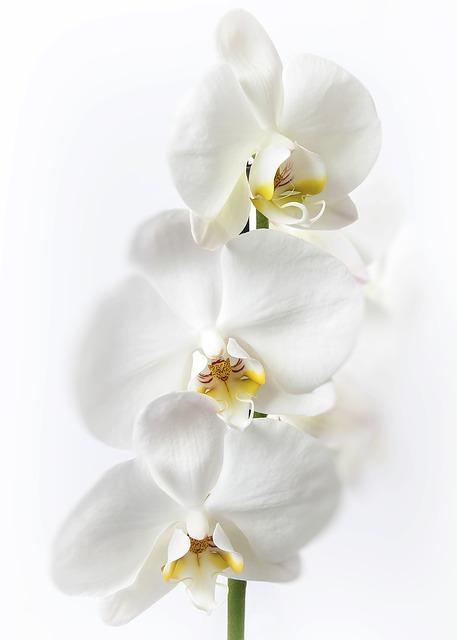 3輪の白胡蝶蘭