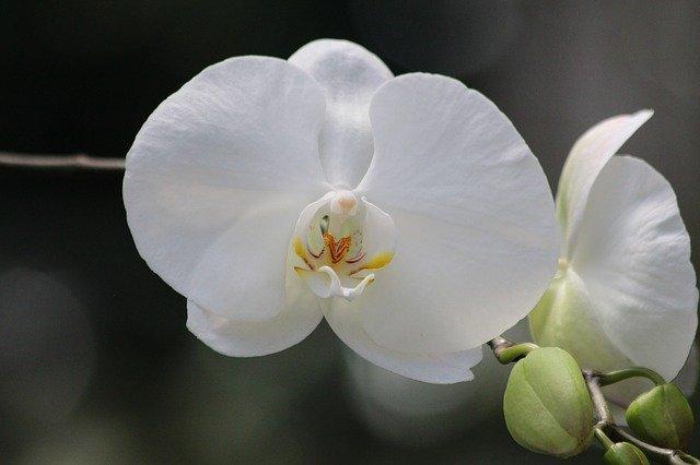 2輪の白い胡蝶蘭